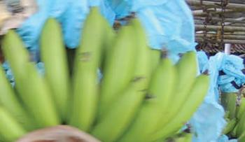 Justice for banana workers