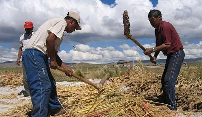 Workers in Peru harvesting quinoa. Photo Credit: Michael Hermann