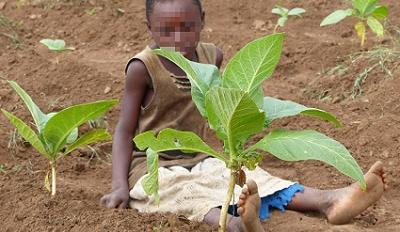 Child in tobacco field