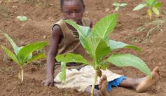 Child in tobacco field