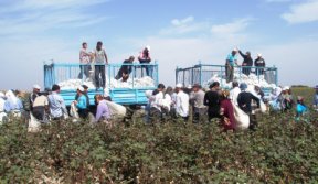 Cotton harvest in Uzbekistan